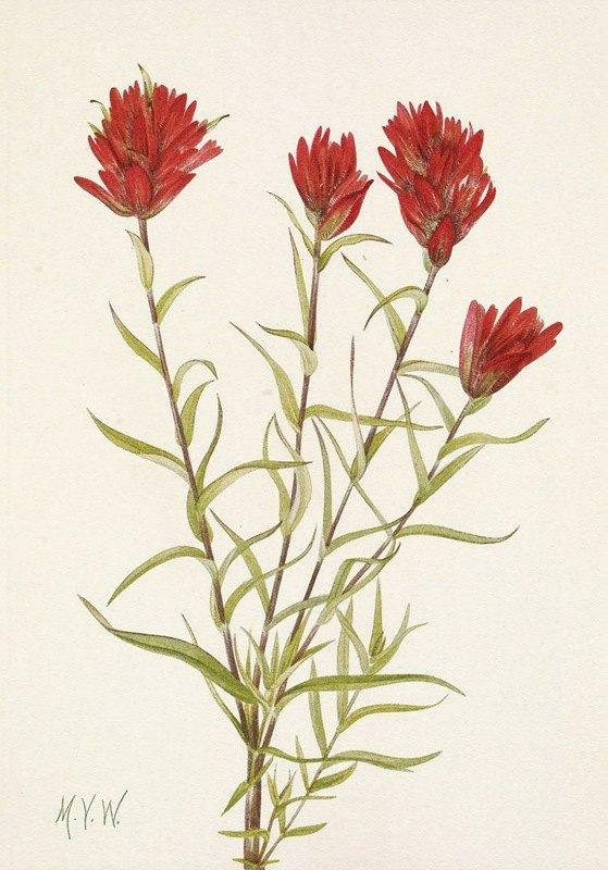 Mary Vaux Walcott - Lanceleaf Paintbrush. Castilleja lancifolia