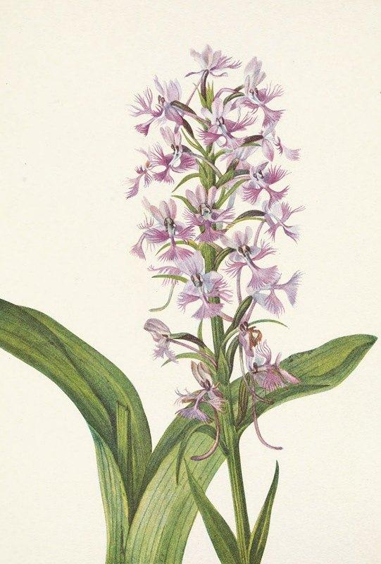 Mary Vaux Walcott - Large Purple Fringe-orchid. Habenaria grandiflora