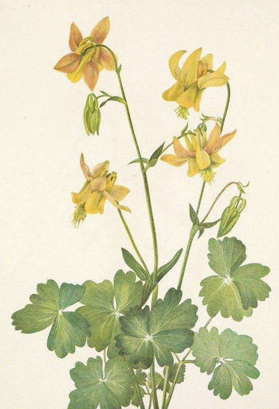 Mary Vaux Walcott - Lemon Columbine. Aquilegia flavescens