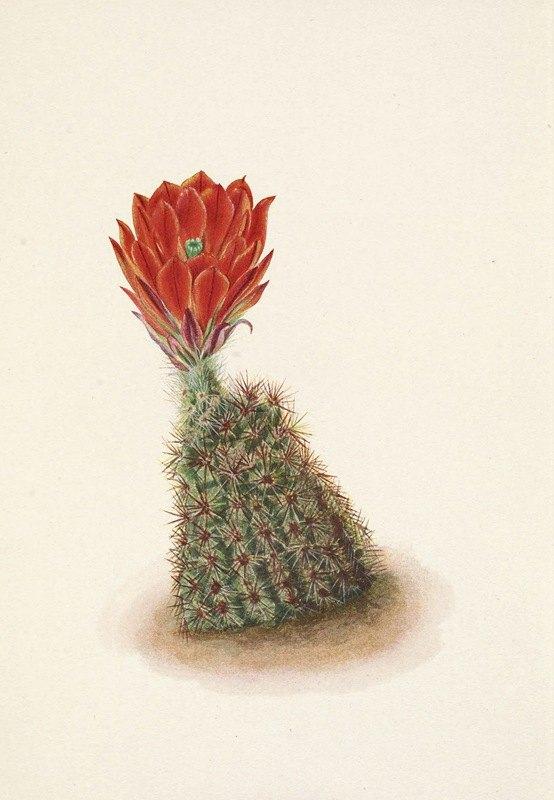 Mary Vaux Walcott - Lloyds Strawberry-cactus. Echinocereus lloydii