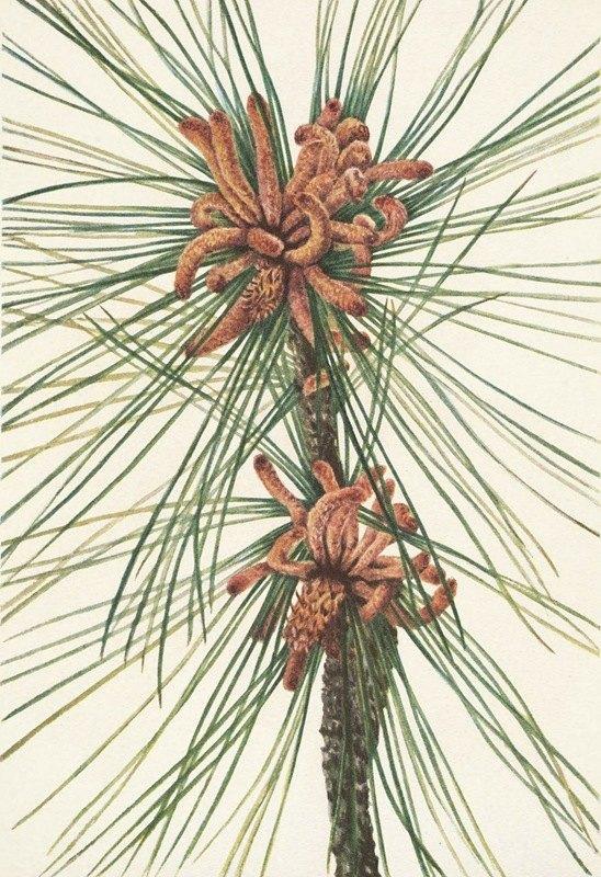 Mary Vaux Walcott - Loblolly Pine. Pinus taeda