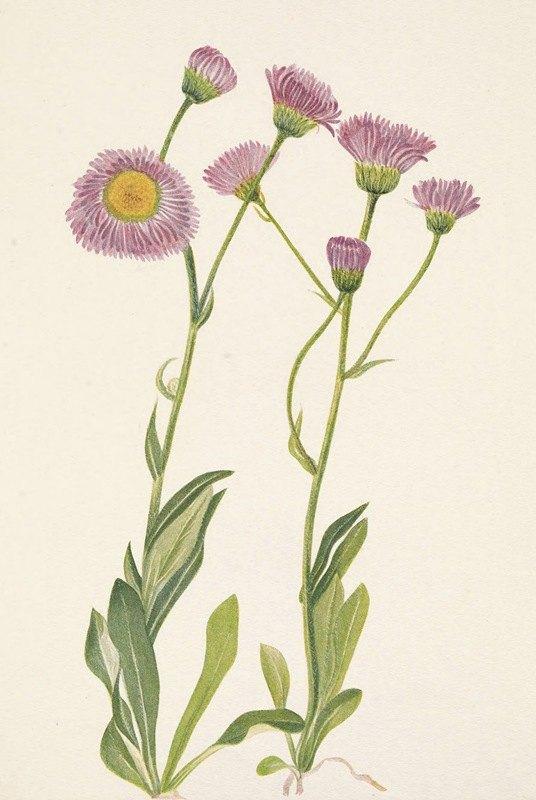 Mary Vaux Walcott - Meadow Fleabane. Erigeron speciosus