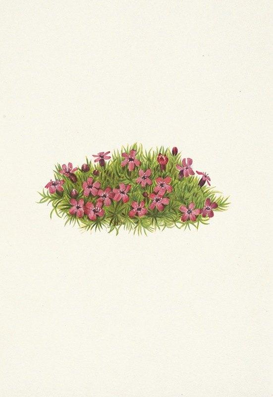 Mary Vaux Walcott - Moss Campion. Silene acaulis