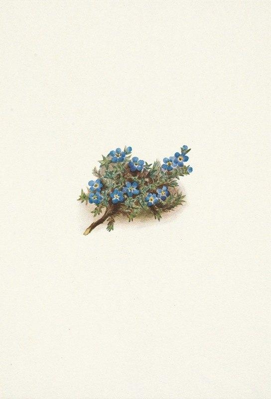 Mary Vaux Walcott - Moss Forget-me-not. Eritrichum elongatum