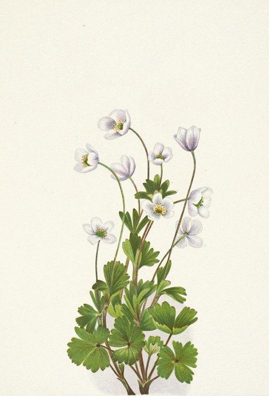 Mary Vaux Walcott - Northern Anemone. Anemone parviflora