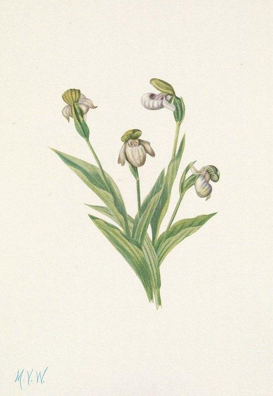 Mary Vaux Walcott - Northern Ladyslipper. Cypripedium passerinum