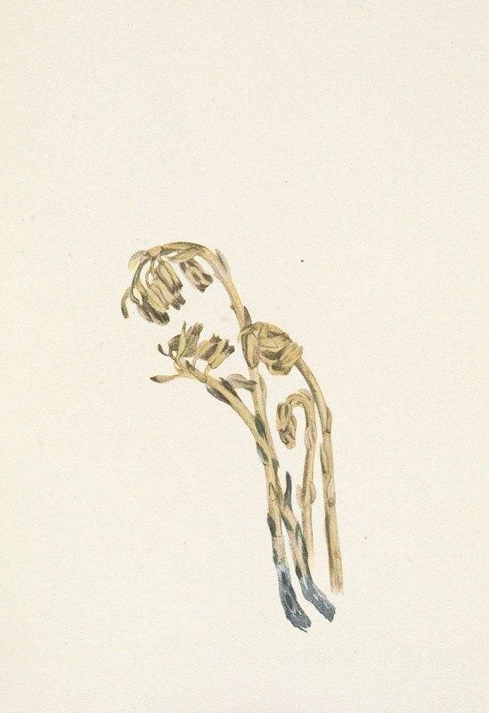 Mary Vaux Walcott - Pale Pinesap. Hypopitys americana