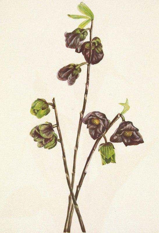 Mary Vaux Walcott - Papaw. Asimina triloba