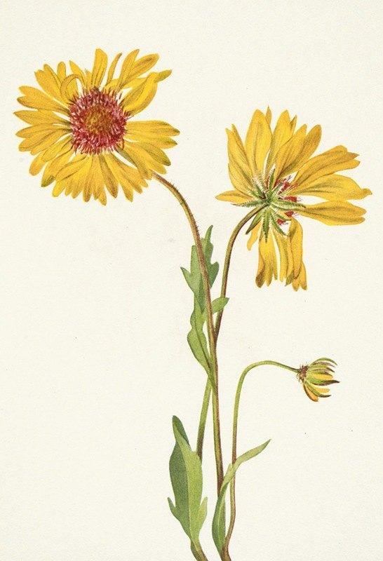 Mary Vaux Walcott - Perennial Gaillardia. Gaillardia aristata