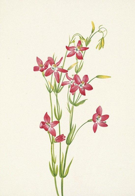 Mary Vaux Walcott - Pink Centaurium. Centaurium venustum