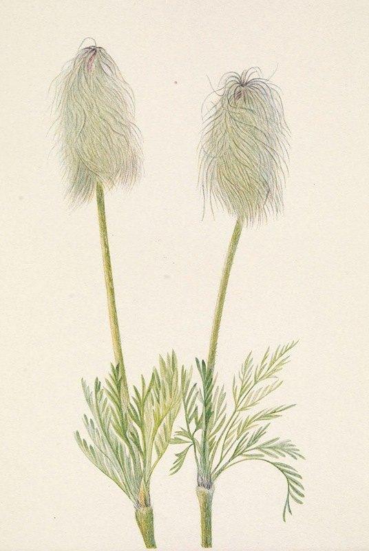 Mary Vaux Walcott - Plume Anemone (fruit). Pulsatilla occidentalis