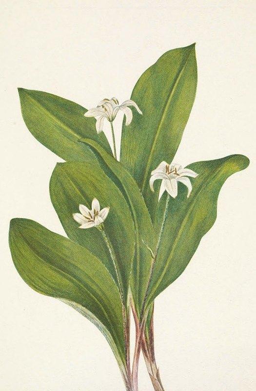 Mary Vaux Walcott - Queencup (flower). Clintonia uniflora