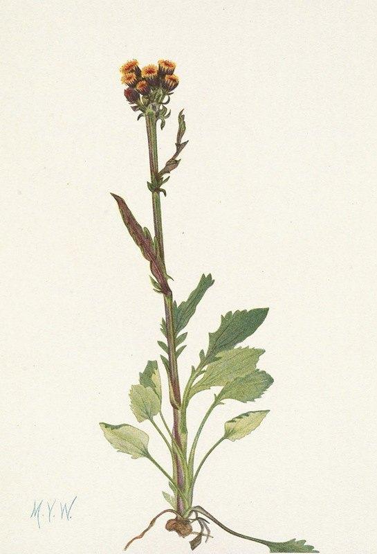 Mary Vaux Walcott - Rayless Groundsel Senecio pauciflorus