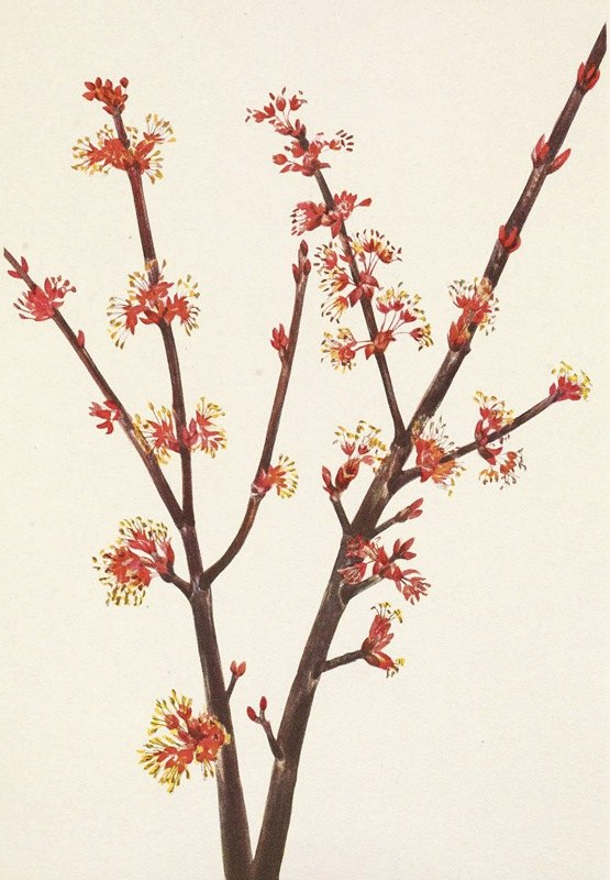 Mary Vaux Walcott - Red Maple. Acer rubrum
