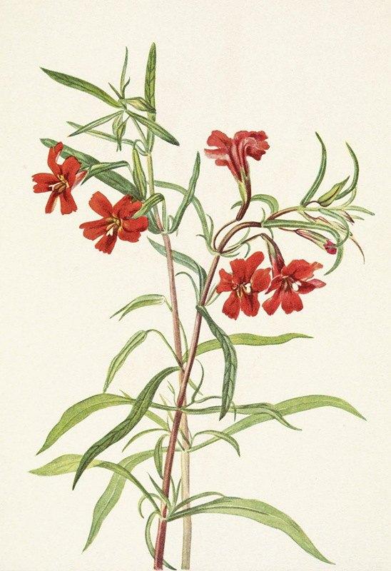 Mary Vaux Walcott - Red Monkeyflower. Diplacus puniceus