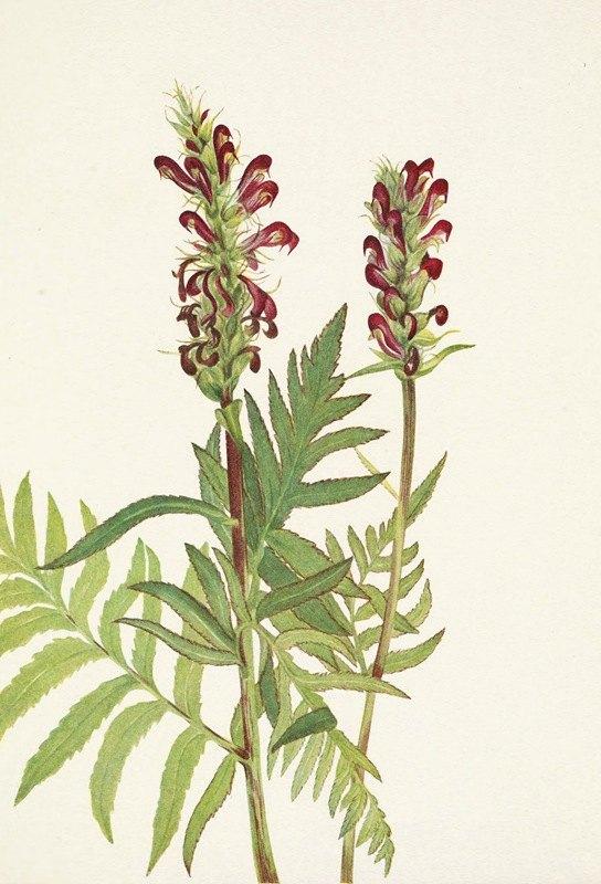 Mary Vaux Walcott - Red-helmet Pedicularis bracteosa
