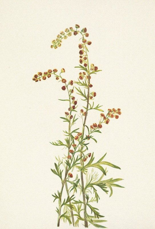 Mary Vaux Walcott - Rock Wormwood. Artemisia discolor