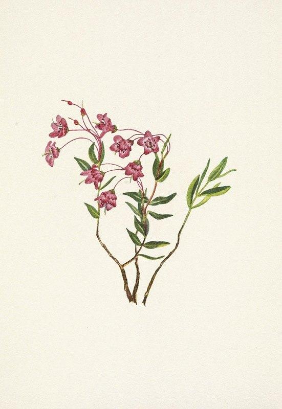 Mary Vaux Walcott - Rocky Mountain Kalmia. Kalmia microphylla