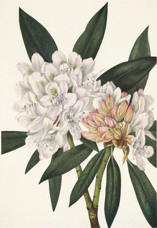 Mary Vaux Walcott - Rosebay Rhododendron. Rhododendron maximum