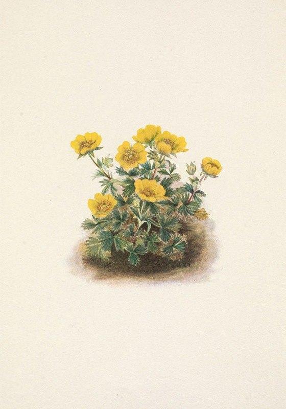 Mary Vaux Walcott - Rosette Cinquefoil. Potentilia uniflora