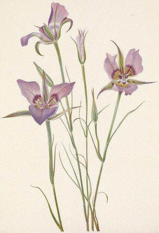 Mary Vaux Walcott - Sagebrush Mariposa. Calochortus macrocarpus
