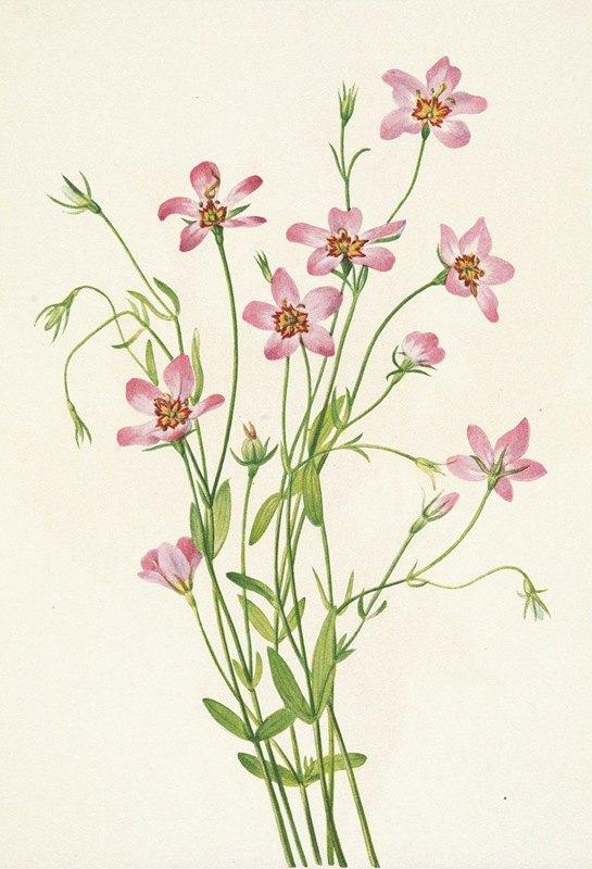 Mary Vaux Walcott - Saltmarsh Rosegentian. Sabbatia stellaris