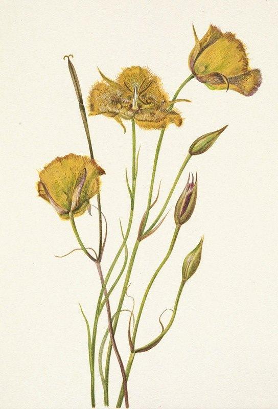Mary Vaux Walcott - San Diego Mariposa. Calochortus weedii