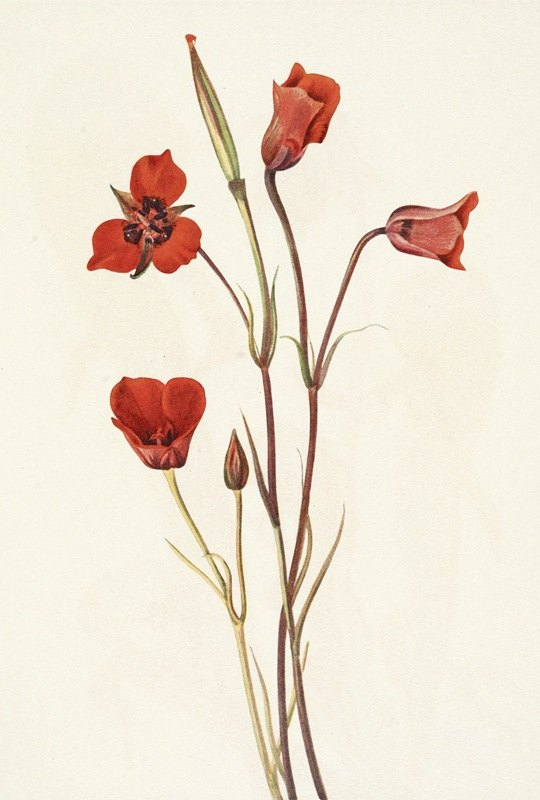 Mary Vaux Walcott - Scarlet Mariposa. Calochortus kennedyi