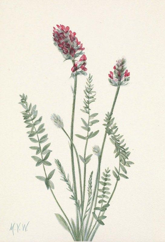 Mary Vaux Walcott - Showy Oxytrope. Oxy tropis splendens