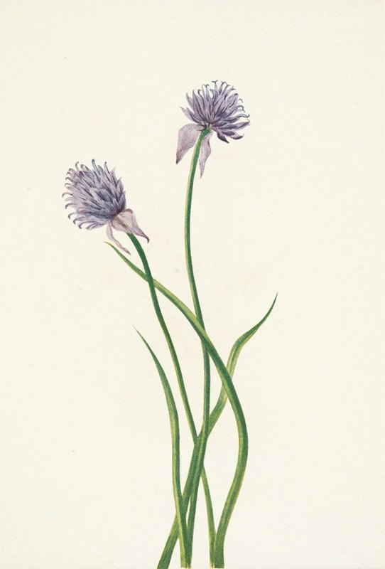 Mary Vaux Walcott - Siberian Onion. Allium sibericum