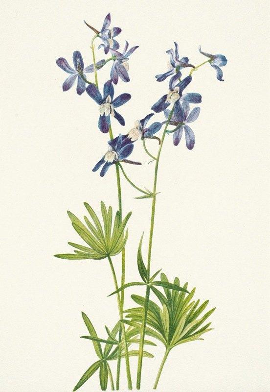 Mary Vaux Walcott - Slim Larkspur. Delphinium depauperatum