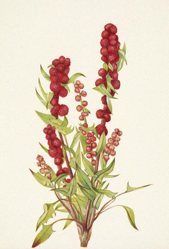 Mary Vaux Walcott - Strawberry-blite. Chenopodium capitatum