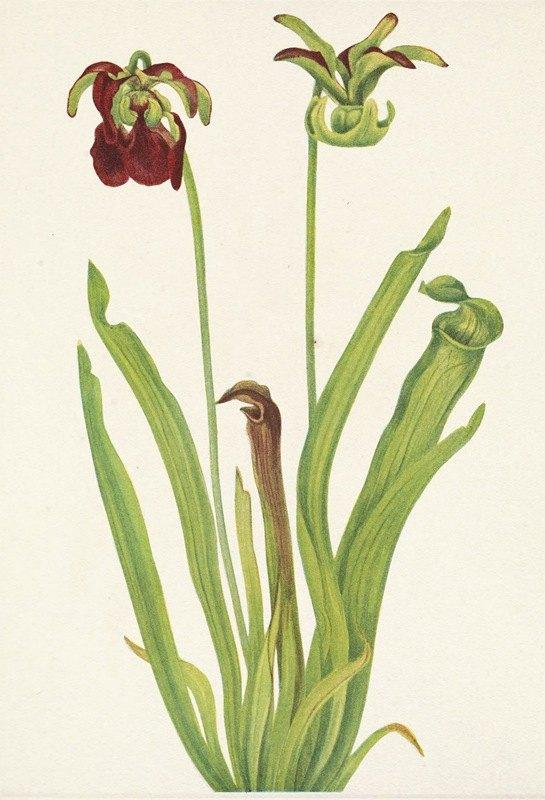 Mary Vaux Walcott - Sweet Pitcherplant. Sarracenia rubra