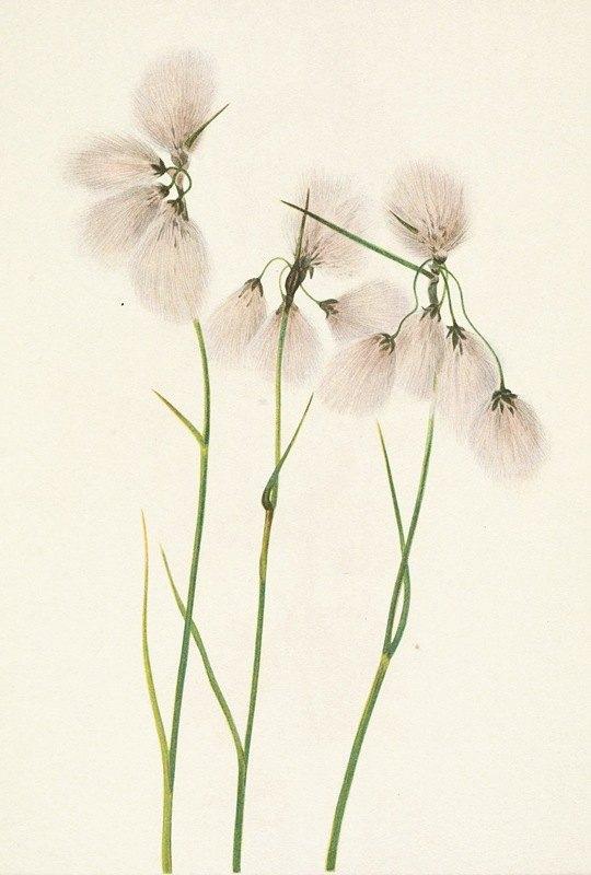 Mary Vaux Walcott - Tassel Cottongrass. Eriophorum angustifolium