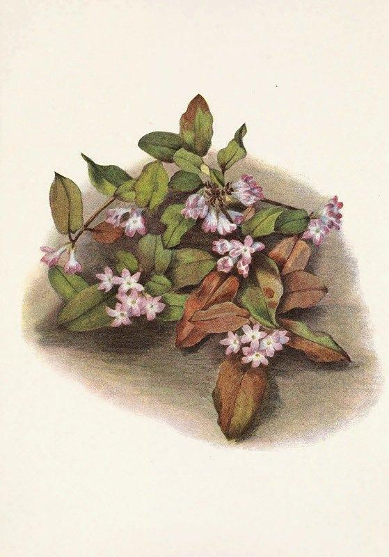 Mary Vaux Walcott - Trailing-arbutus. Epigaea repens