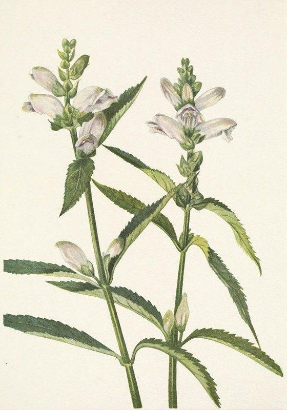 Mary Vaux Walcott - Turtlehead. Chelone glabra