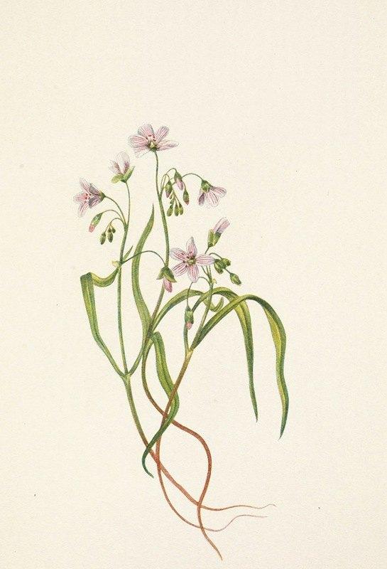 Mary Vaux Walcott - Virginia Springbeauty. Claytonia virginica