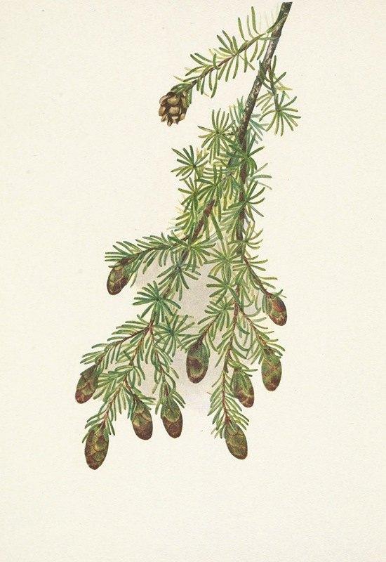 Mary Vaux Walcott - Western Hemlock. Tsuga heterophylla