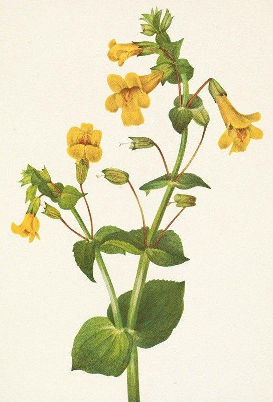 Mary Vaux Walcott - Western Monkeyflower. Mimulus guttatus