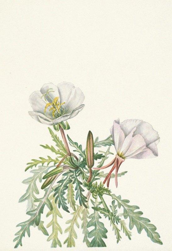 Mary Vaux Walcott - White Dawnrose. Pachyloplus marginatus