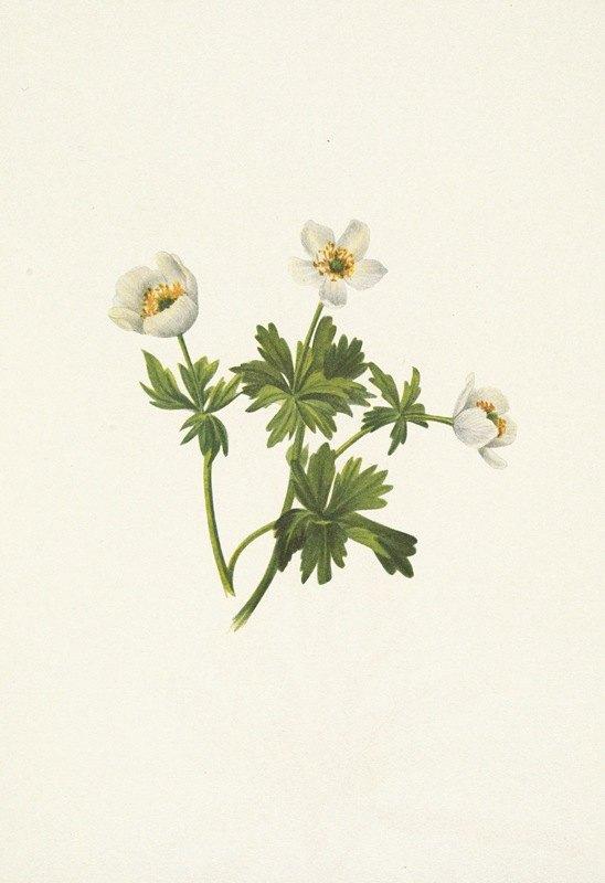 Mary Vaux Walcott - White Globeflower. Trollius albiflorus