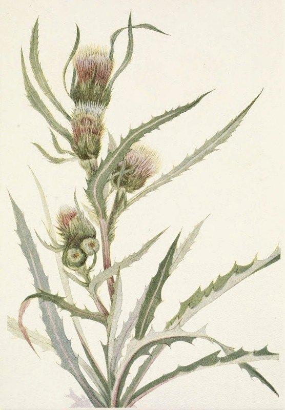 Mary Vaux Walcott - White Thistle. Cirsium hookerianum