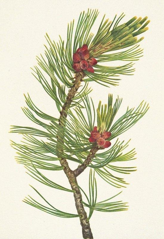 Mary Vaux Walcott - Whitebark Pine. Pinus albicaulis