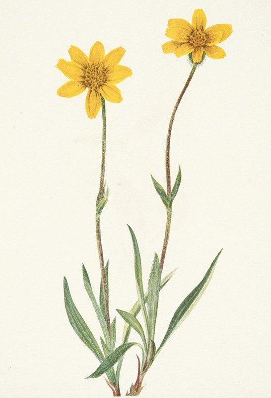 Mary Vaux Walcott - Woolly Arnica. Arnica tomentosa