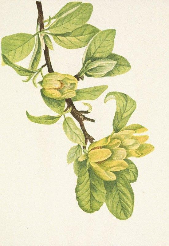 Mary Vaux Walcott - Yellow Cucumbertree. Magnolia cordata