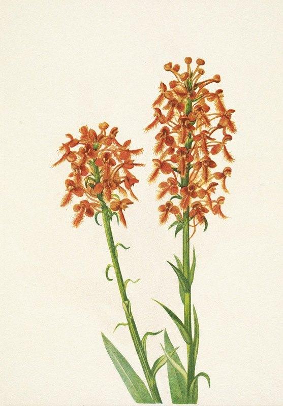 Mary Vaux Walcott - Yellow Fringeorchid. Habenaria ciliaris