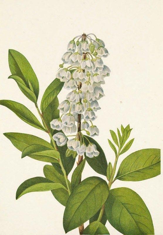 Mary Vaux Walcott - Zenobia. Zenobia cassinifolia