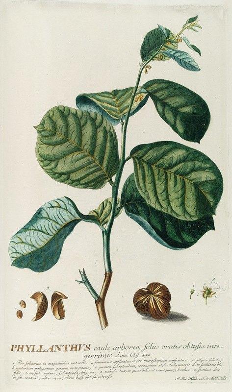 Georg Dionysius Ehret - PhylIanthus