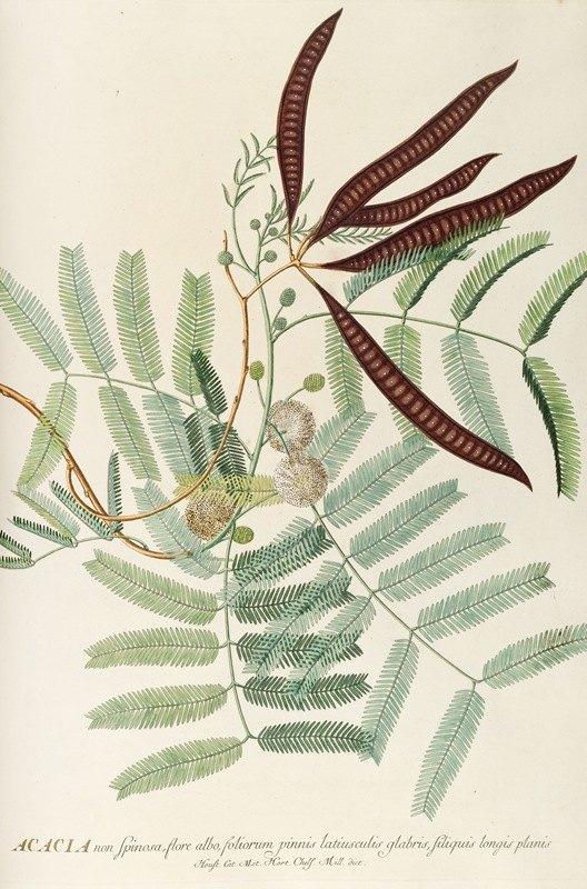 Georg Dionysius Ehret - Acacia