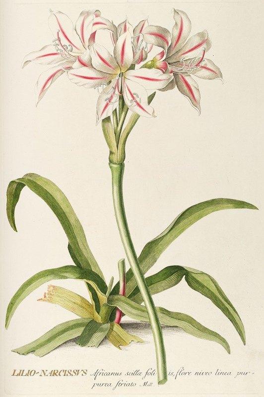 Georg Dionysius Ehret - Lilio-Narcissus